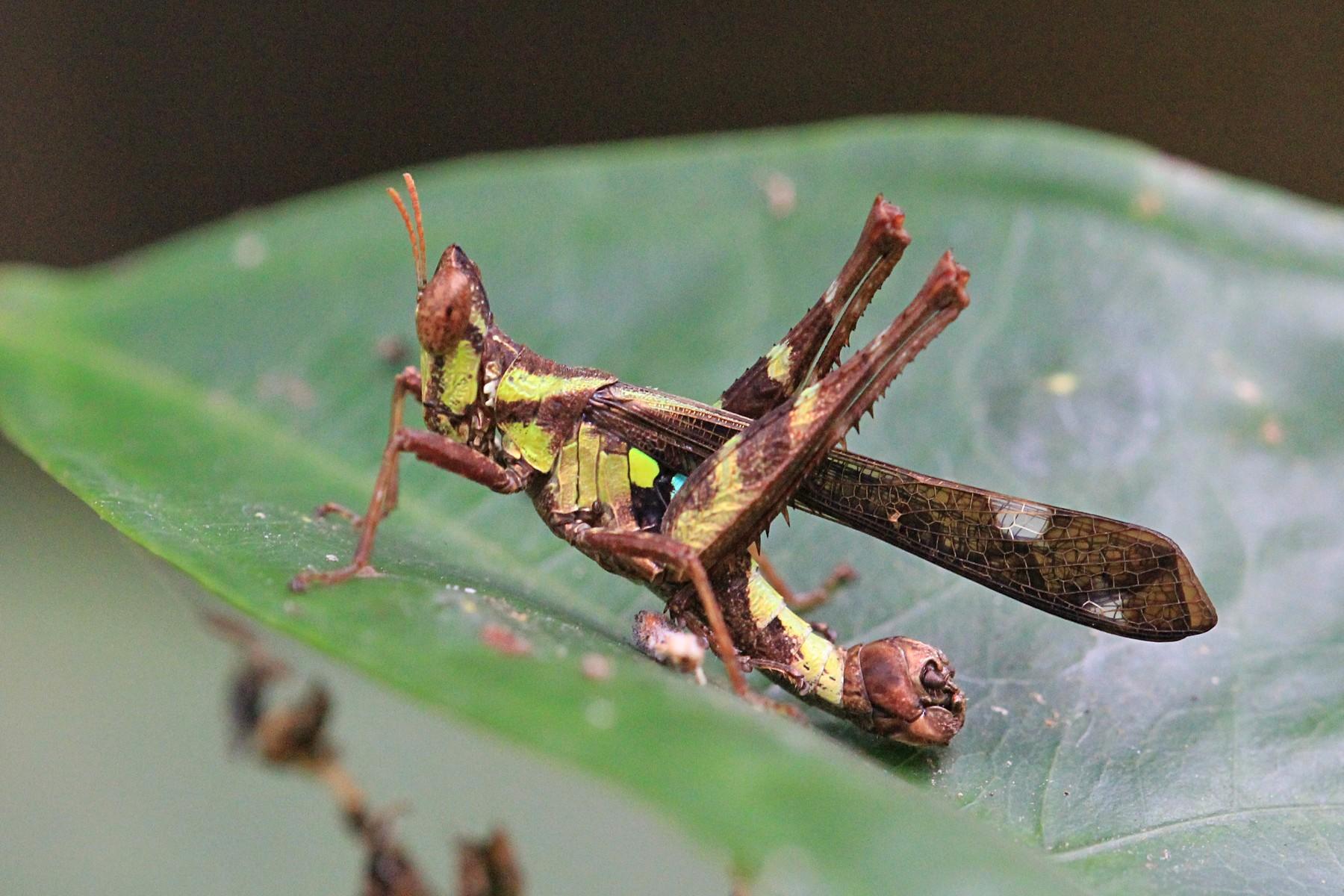 Полосатый кузнечик рода Erianthus с необычной головой и катафотами на спине