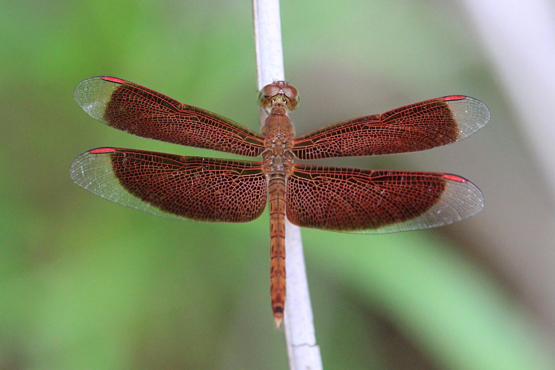 Красновато-коричневая стрекоза с прозрачными концами крыльев из рода Neurothemis