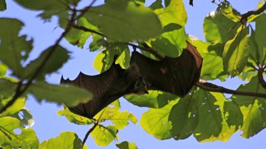 Летучие лисицы