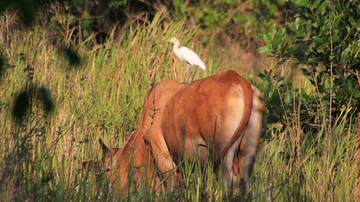 Водяные буйволы и белые цапли