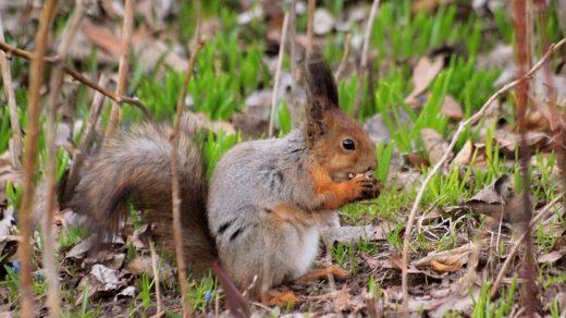 Чем питаются белочки ранней весной