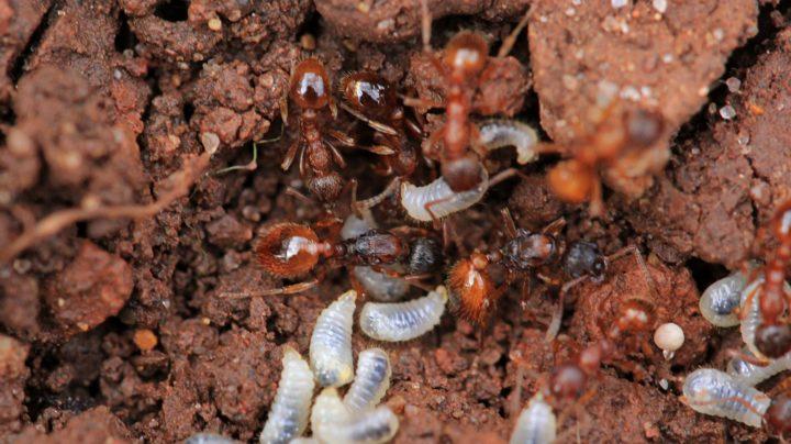 Муравьи спасают личинок