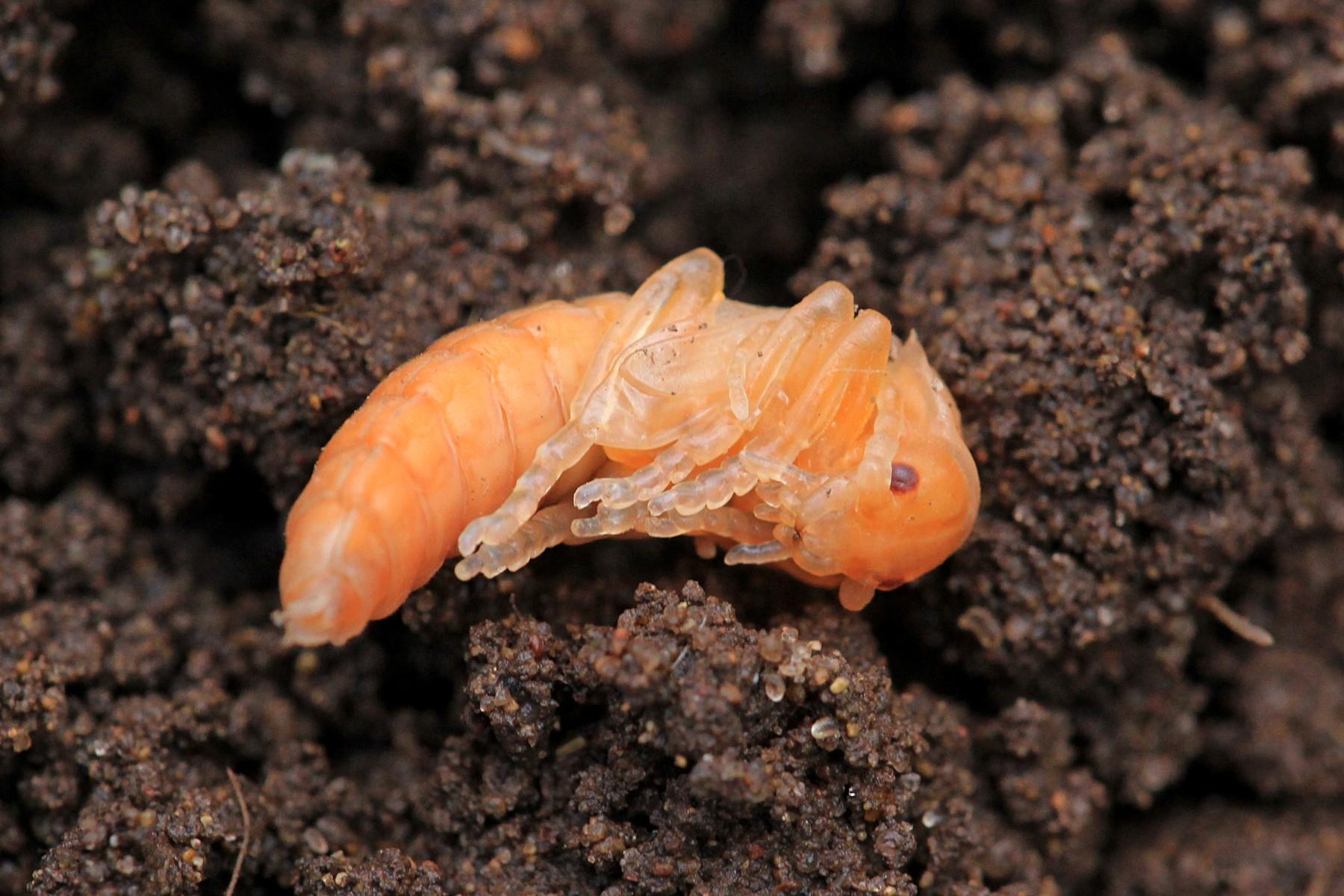 Куколка жука-мягкотелки