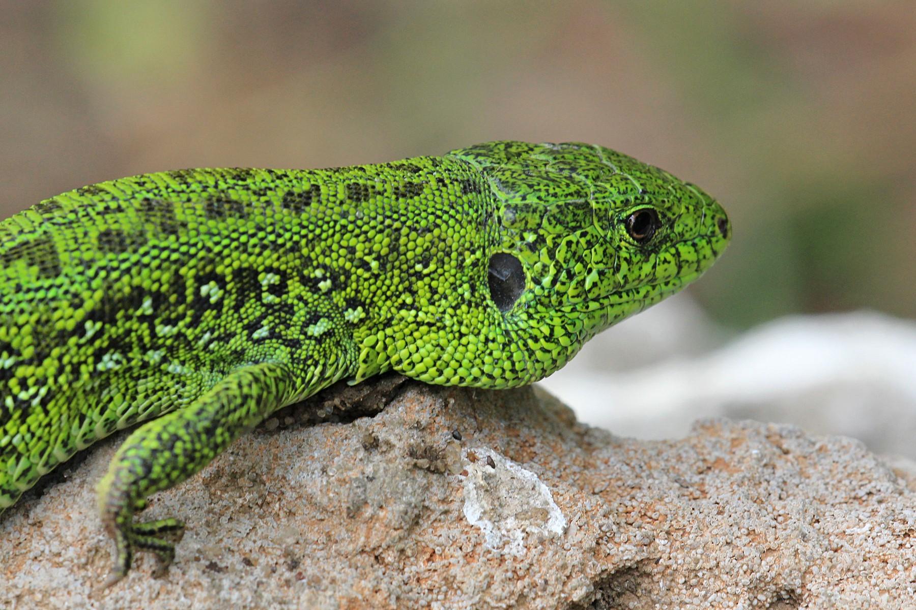 Ящерица прыткая (лат. Lacerta agilis), самец в брачном наряде