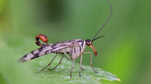 Скорпионница обыкновенная (лат. Panorpa communis), самец