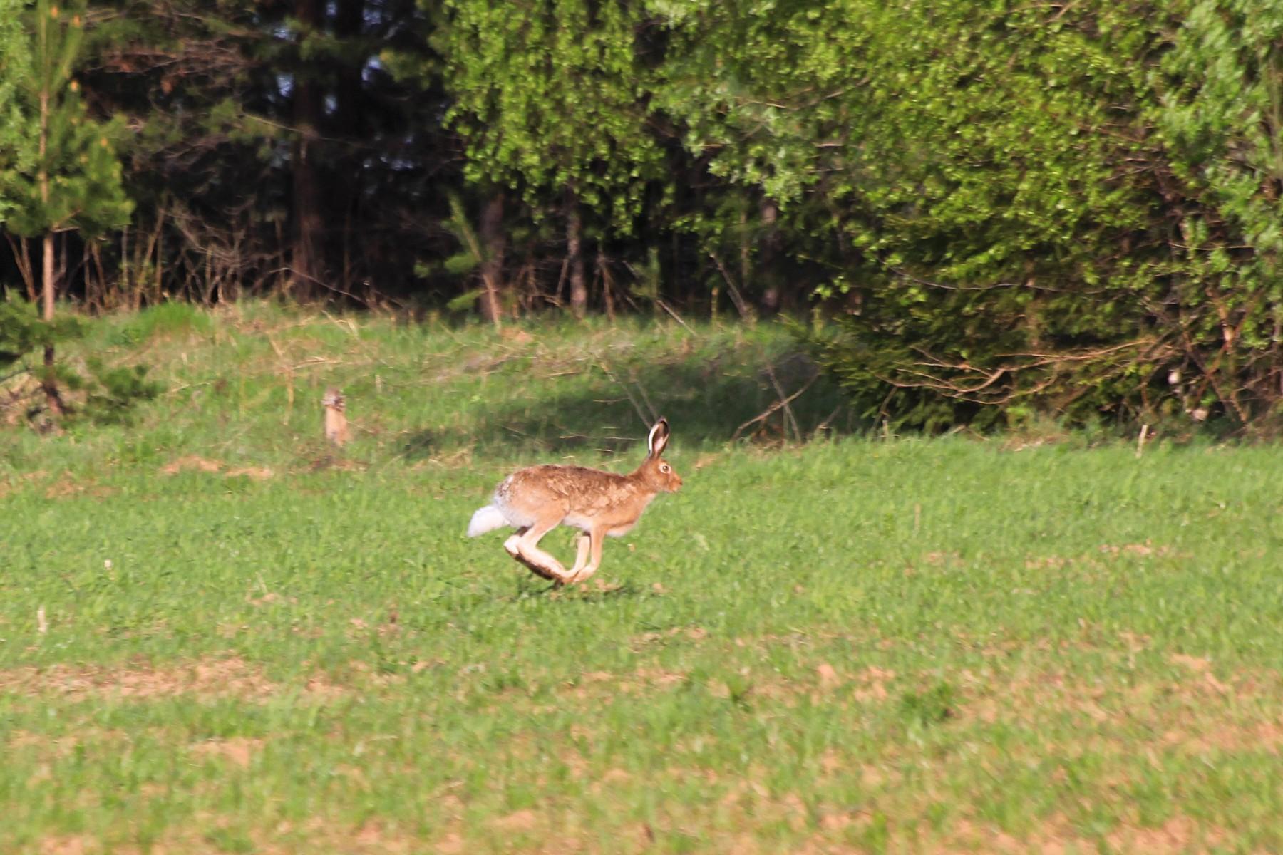 В погоне за зайцем