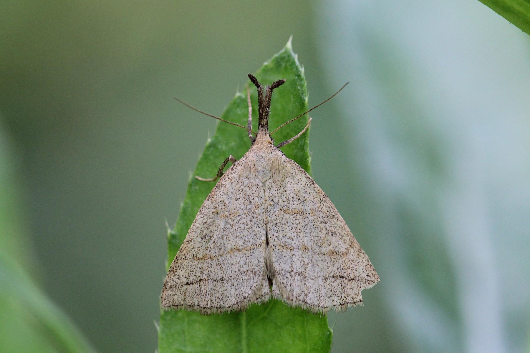 Совка-огнёвка скромная (лат. Polypogon tentacularia)