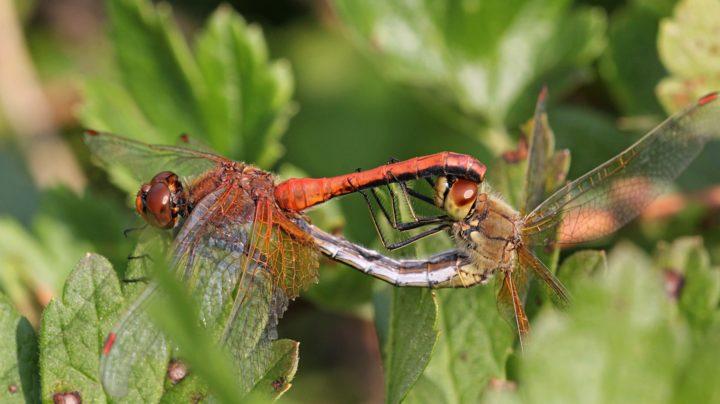 Копуляция у стрекозы жёлтой (лат. Sympetrum flaveolum)