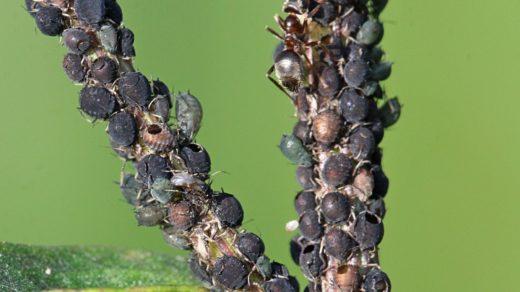 Кто наслал мор на муравьиное стадо?
