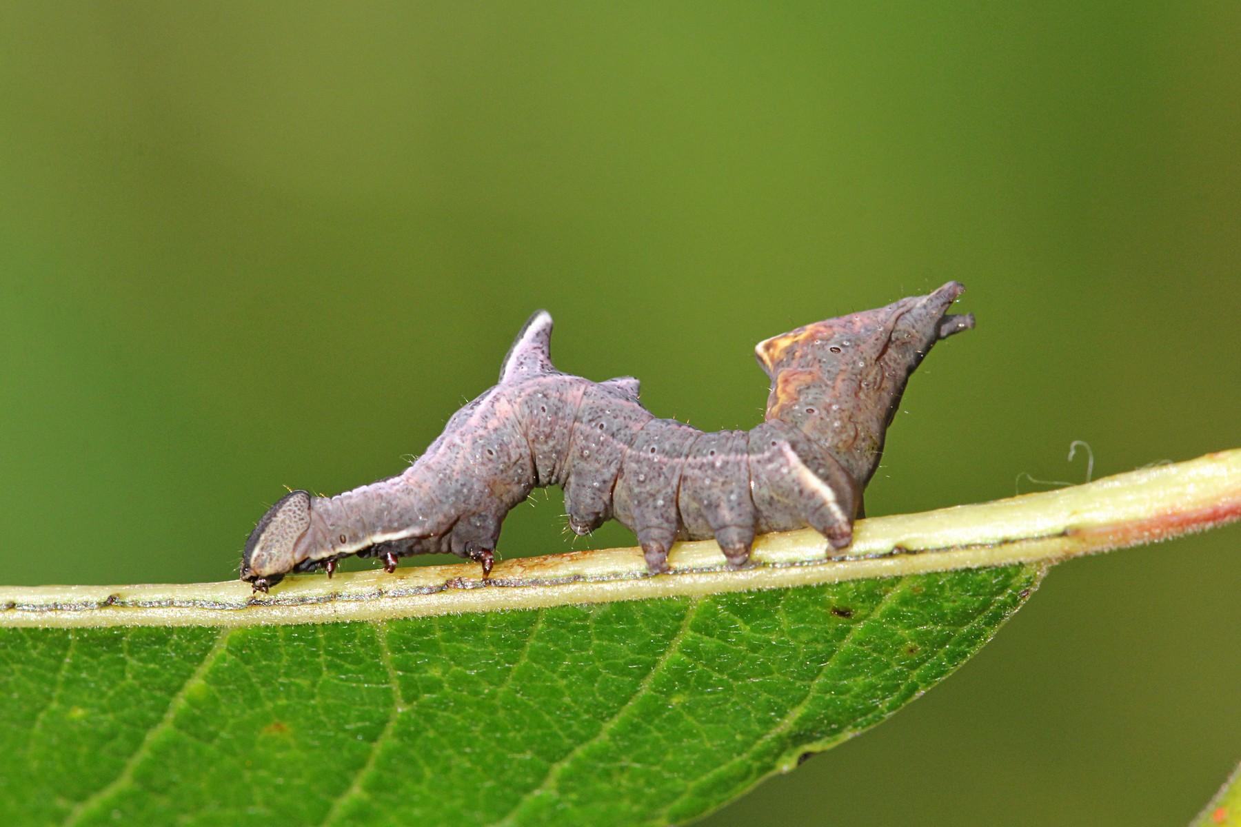 Хохлатка-зигзаг (Notodontia ziczac), гусеница