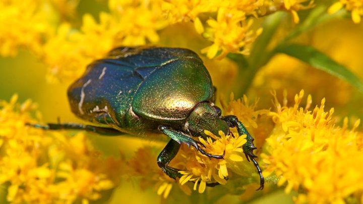 Бронзовка обыкновенная (лат. Cetonia aurata) на цветках золотарника