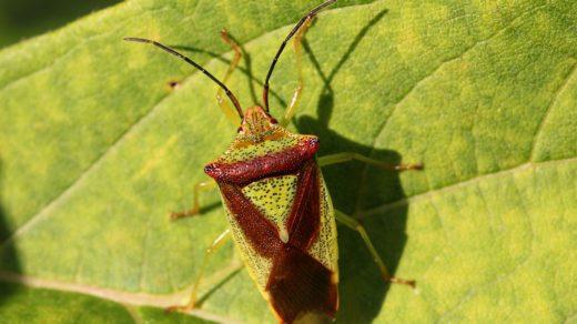 Древесный клоп-щитник килевик лиственный