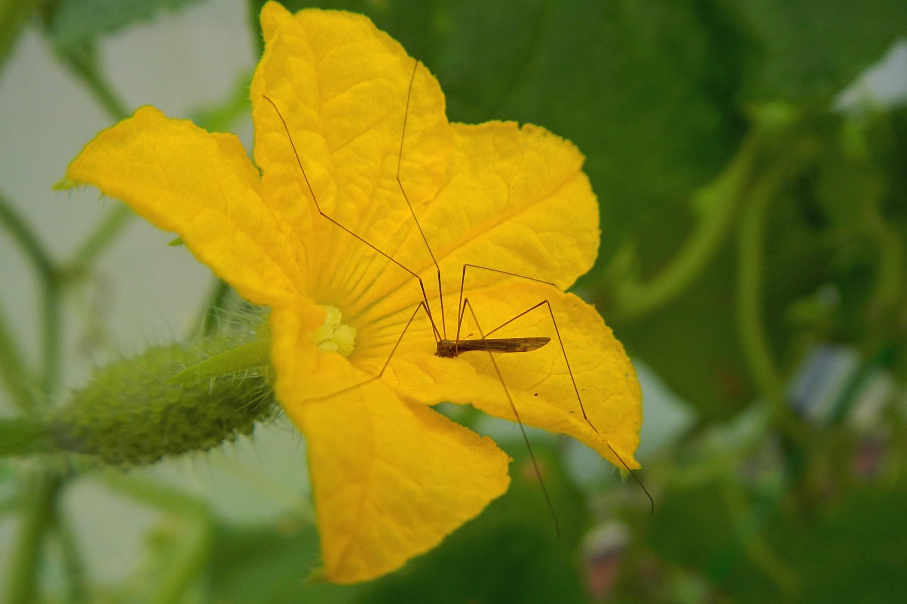 Комар-долгоножка обедает цветочным нектаром