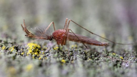 Комар-самец с пушистыми усами