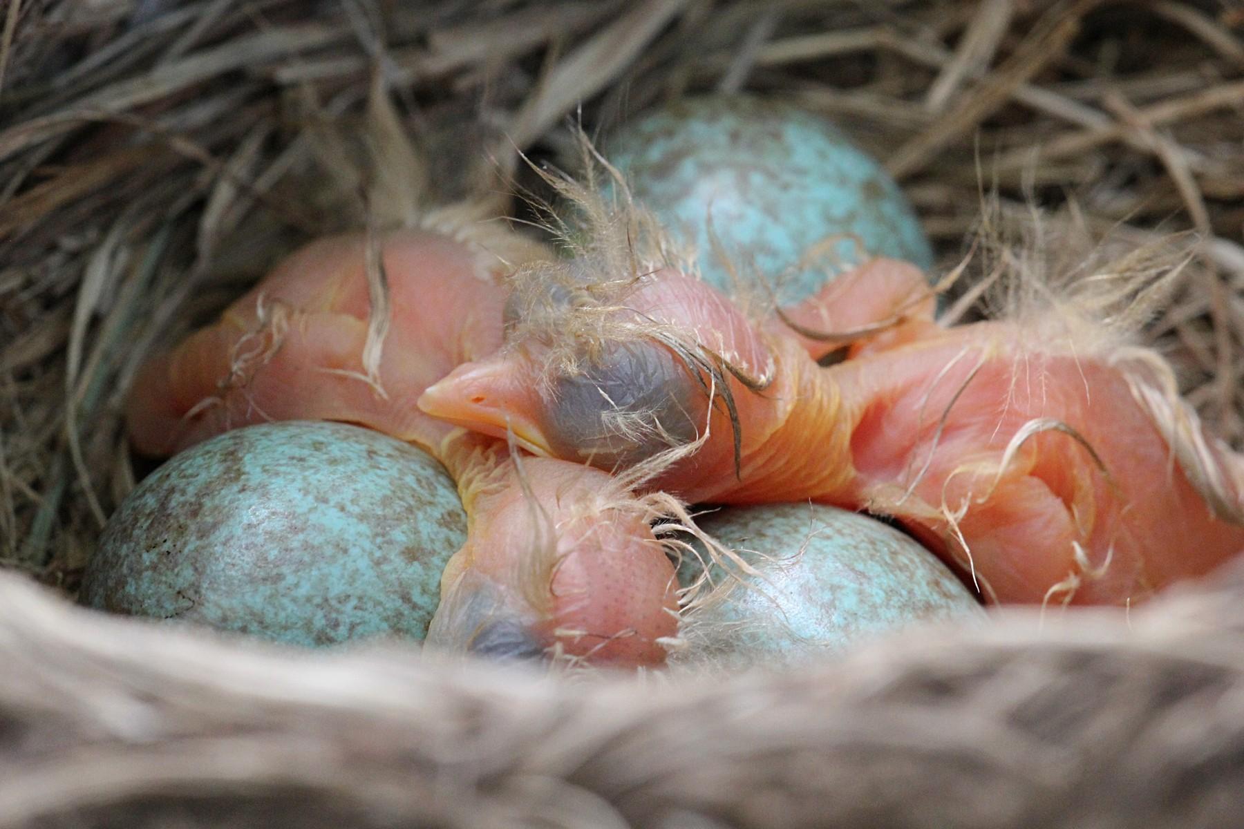 Яйца, птенцы и гнёзда дроздов