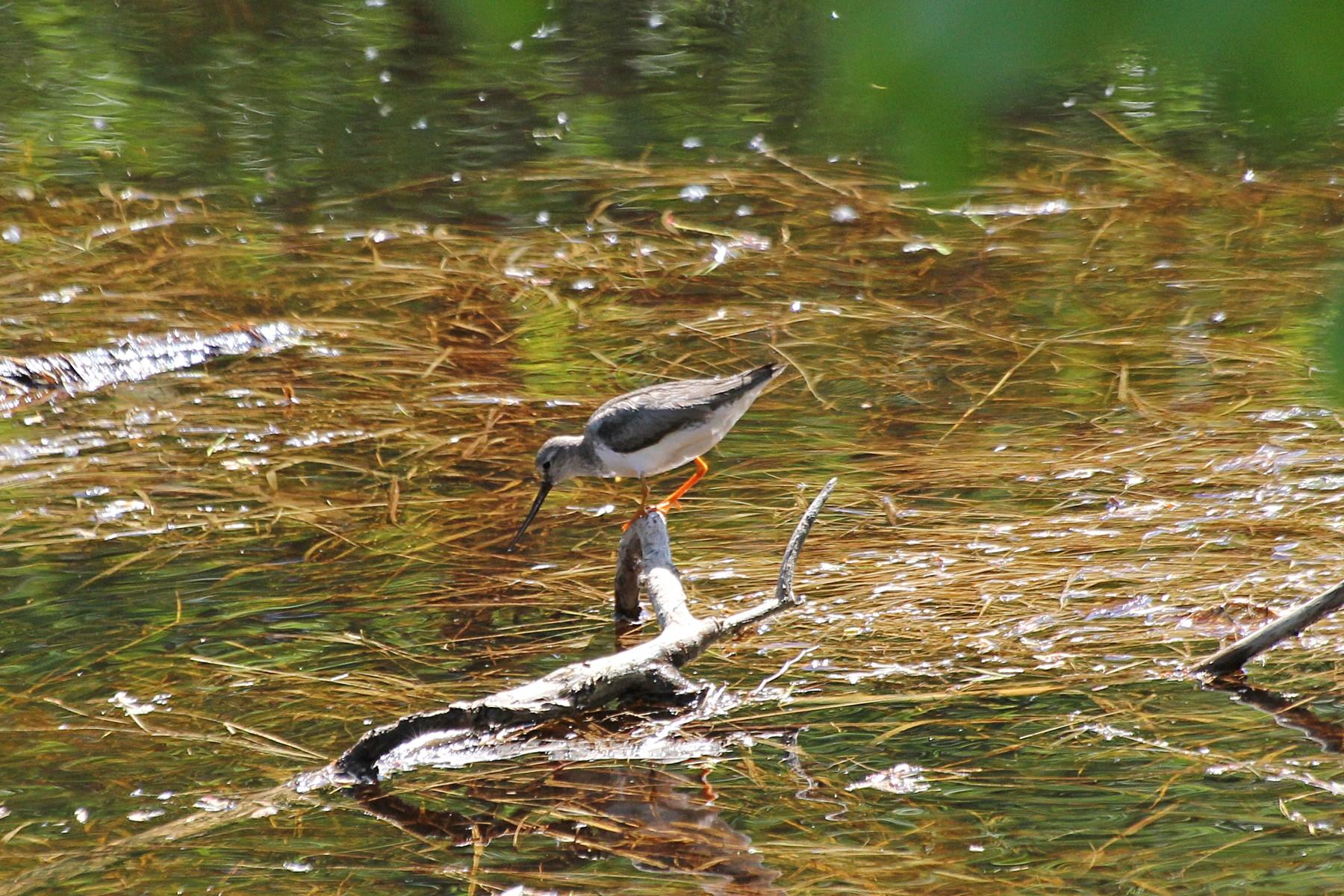 Мородунка (лат. Xenus cinereus)