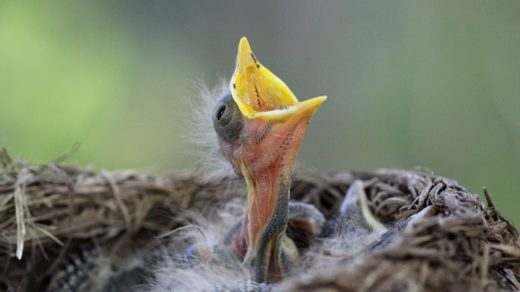 Птенцы дроздов немного подросли...