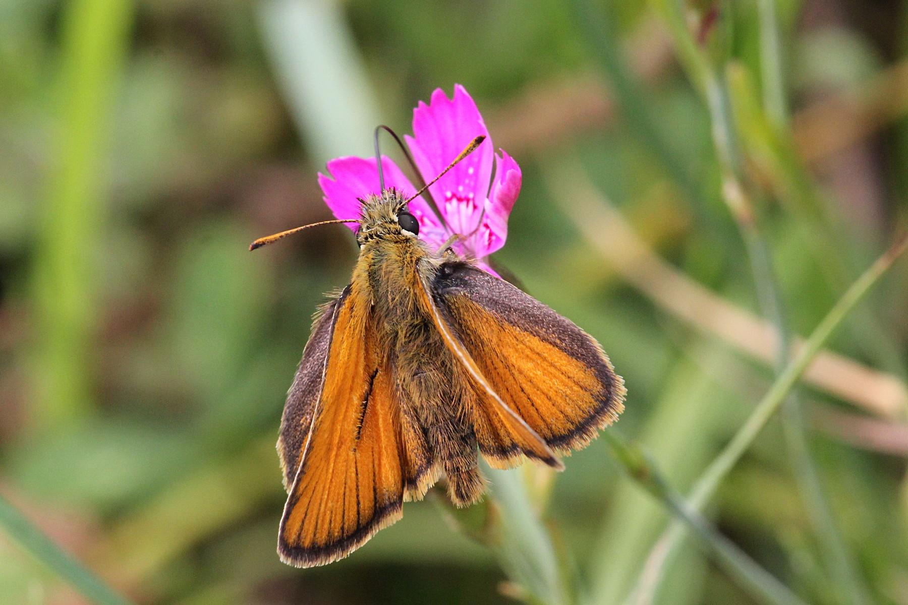 Бабочка-толстоголовка пьет нектар из цветка гвоздики