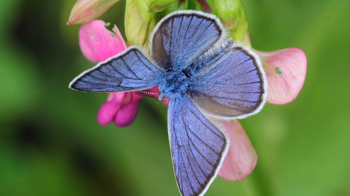 Бабочка-голубянка на цветке чины