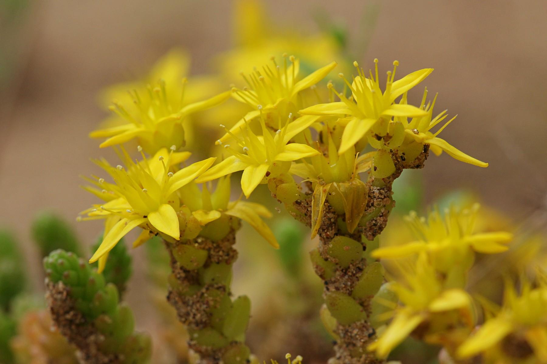 Жёлтые цветочки и листики-чешуйки - цветёт очиток едкий