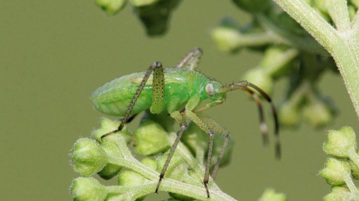 Зелёная нимфа клопа-слепняка