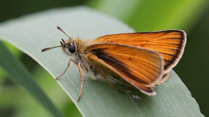 Портрет бабочки-толстоголовки