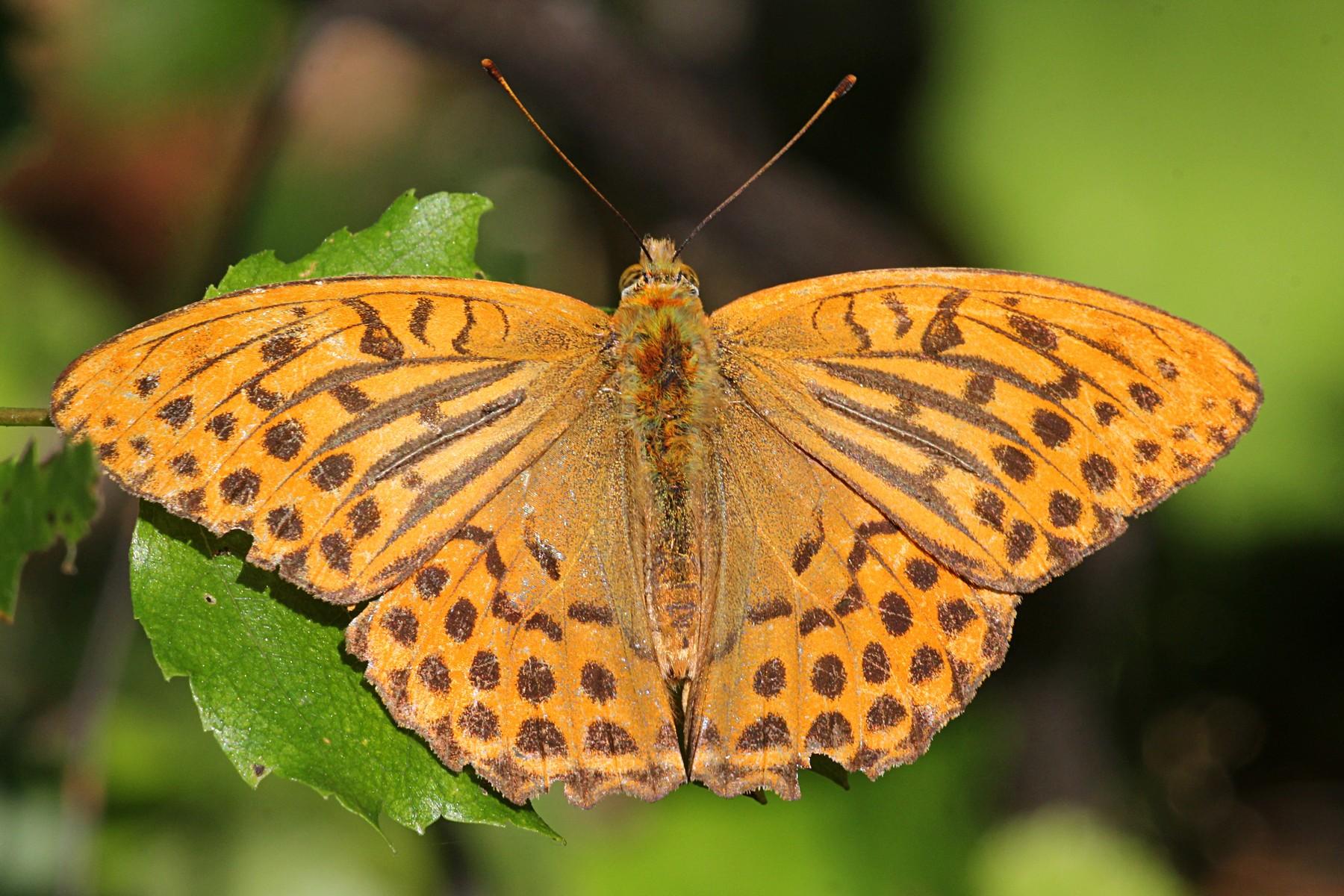 Перламутровка большая (лат. Argynnis paphia), ♂ самец