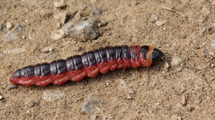 Древоточец пахучий, древоточец ивовый, или крушень-древоточец (лат. Cossus cossus), гусеница