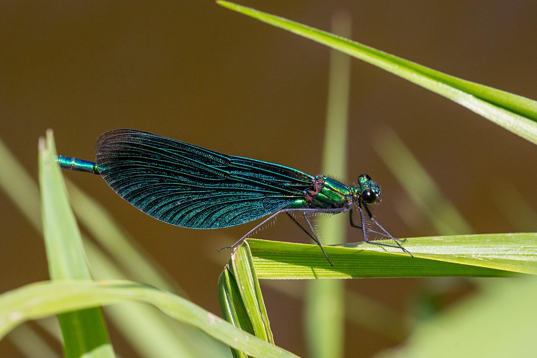 Красотка-девушка (лат. Calopteryx virgo), ♂ самец