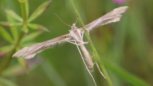 Пальцекрылки - необычные бабочки с узкими крыльями