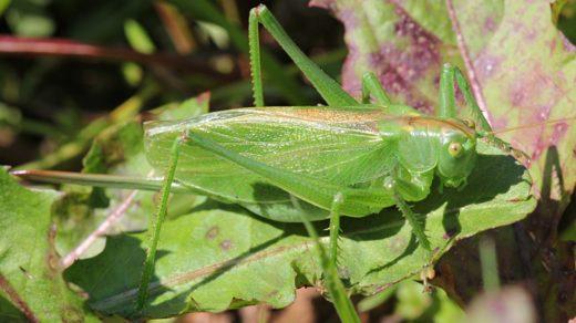 Кузнечик певчий (лат. Tettigonia cantans), ♀ самка