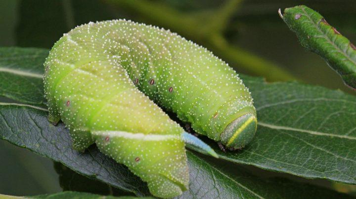 Бражник глазчатый (Smerinthus ocellatus), гусеница