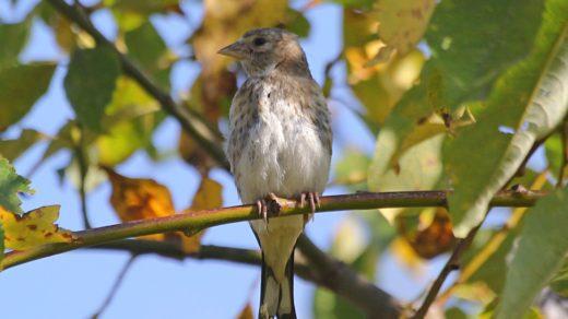 Черноголовый (обыкновенный) щегол (лат. Carduelis carduelis), молодая особь