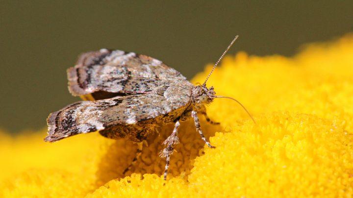 Молелистовёртка берёзовая (лат. Choreutis diana) на цветке пижмы