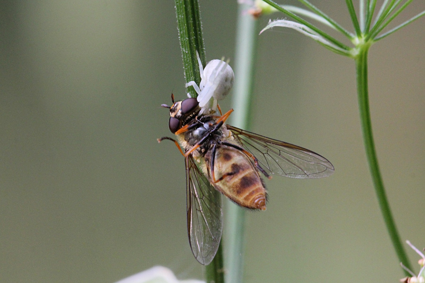 Воздушный балет: как белый цветочный паук муху-журчалку поймал