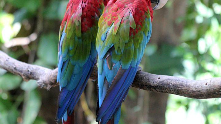 Сонные попугайчики ара