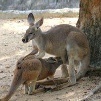 Подросток-кенгуру сосёт молоко из маминой сумки