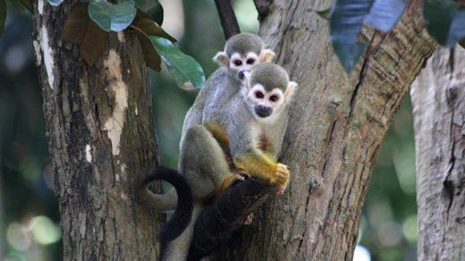 Саймири, беличья обезьяна, «мёртвая голова»