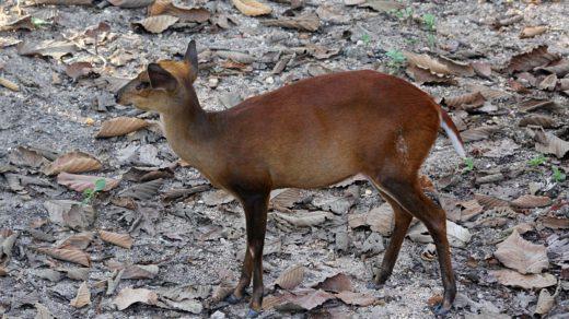 Мунтжак - лающий олень размером с собаку