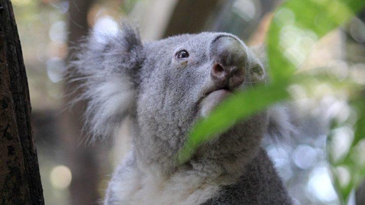 Коала - австралийский серый «медвежонок» с мохнатыми ушками