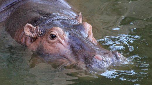 Обыкновенный бегемот, гиппопотам