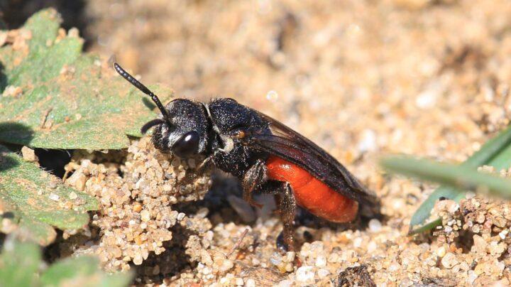 Sphecodes albilabris